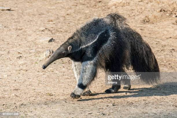 Giant anteater - ant bear insectivore native to Central and South America.