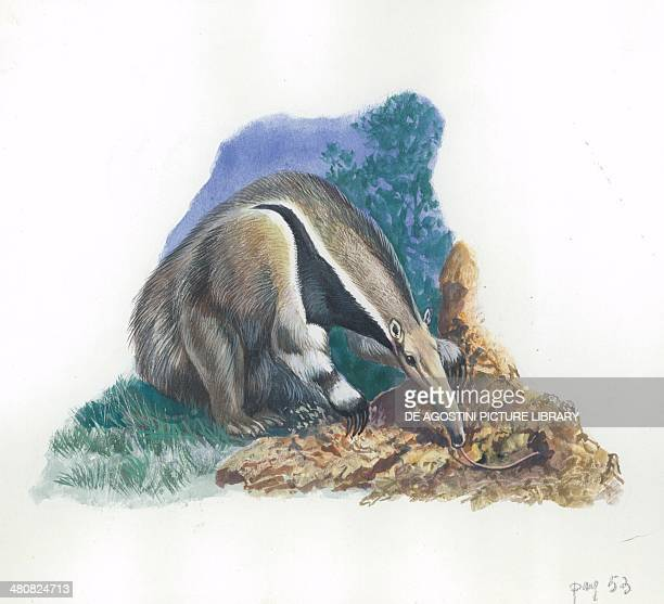 Giant Anteater catching ants illustration