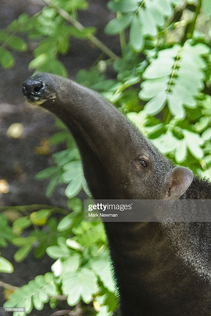 Giant Anteater, closeup : Stock Photo