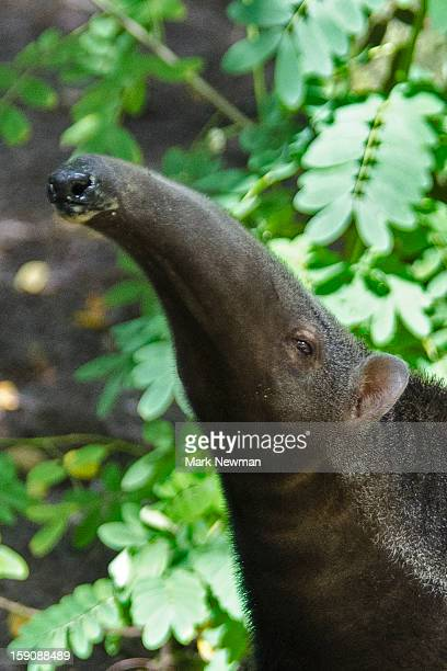 giant anteater, closeup - anteater stock pictures, royalty-free photos & images