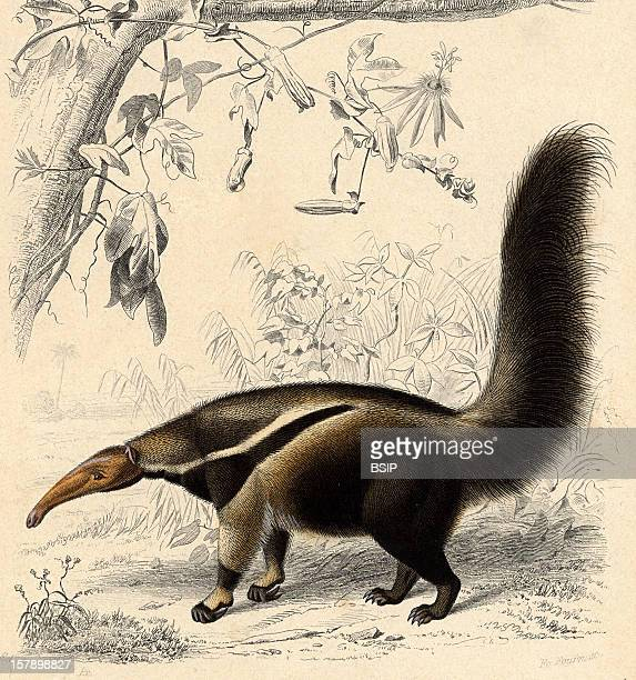 Giant Anteater Engraving Of The 19Th Century Captionned Giant Anteater . Its Current Scientific Name Is Myrmecophaga Tridactyla.Myrmecophaga...