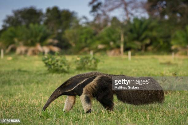giant anteater (myrmecophaga tridactyla) in its habitat, pantanal, mato grosso do sul, brazil - anteater stock pictures, royalty-free photos & images