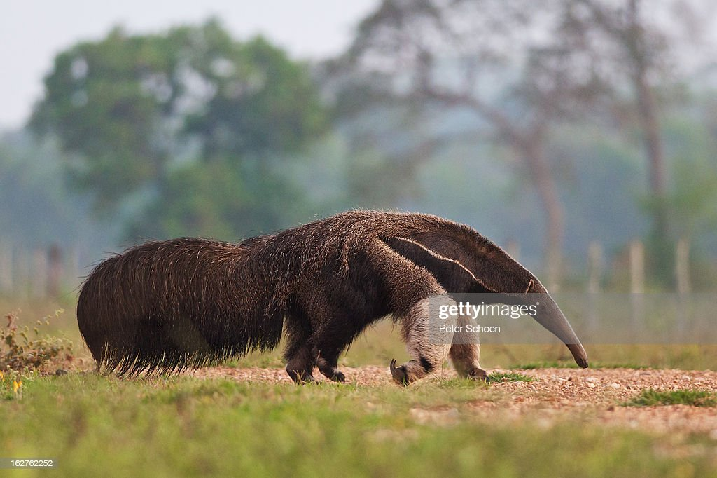 Giant Anteater in Pantanal : Stock Photo