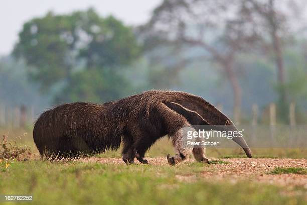 giant anteater in pantanal - anteater stock pictures, royalty-free photos & images