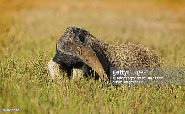 Giant Anteater in the Pantanal