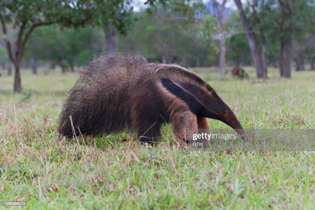 Giant Anteater (Myrmecophaga tridactyla), Mato Grosso, Brazil : Stock Photo