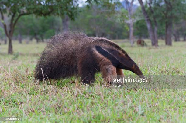 giant anteater (myrmecophaga tridactyla), mato grosso, brazil - giant anteater stock pictures, royalty-free photos & images