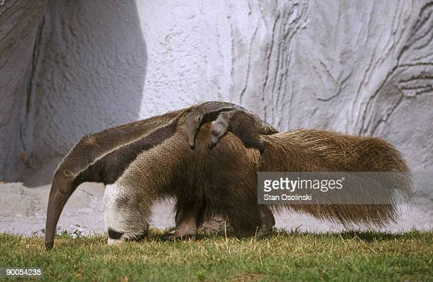 giant anteater myrmecophaga jubata carrying baby on back zoo animal