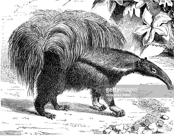 Giant anteater, Myrmecophaga tridactyla, also ant bear, illustration from 1885 / Großer Ameisenbär, Myrmecophaga tridactyla, Illustration aus 1885,...