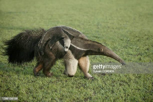 Giant Anteater Myrmecophaga tridactyla