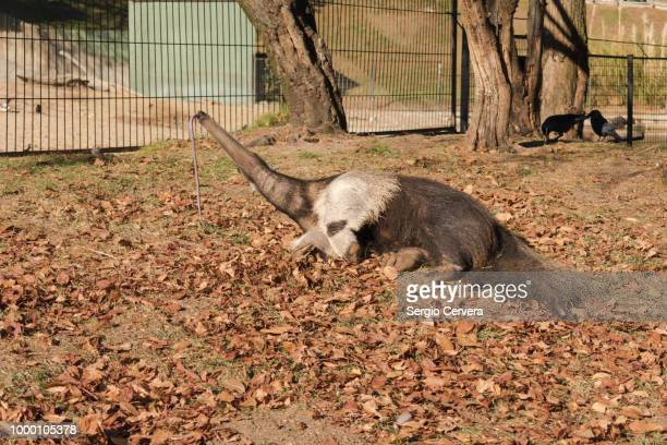 giant anteater, myrmecophaga tridactyla with its tongue out in a - anteater tongue stock pictures, royalty-free photos & images