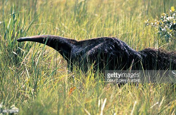 Giant anteater , Myrmecophagidae, Brazil.