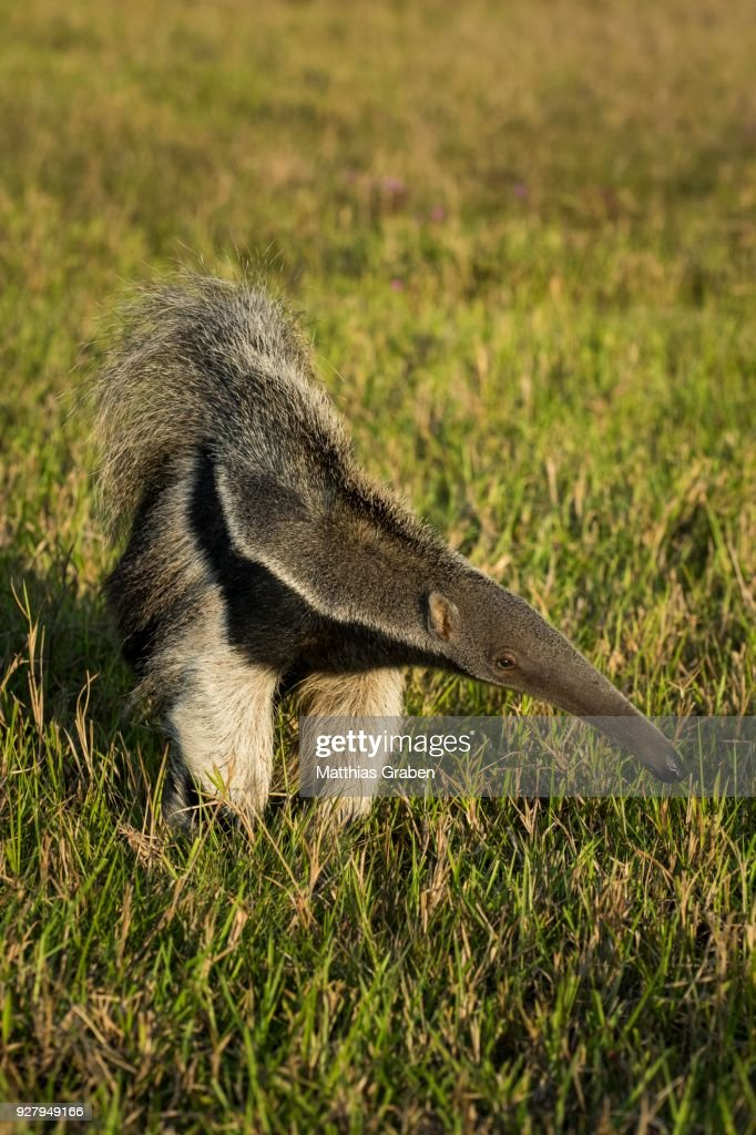 Giant anteater (Myrmecophaga tridactyla), Pantanal, Mato Grosso do Sul, Brazil : Stock Photo