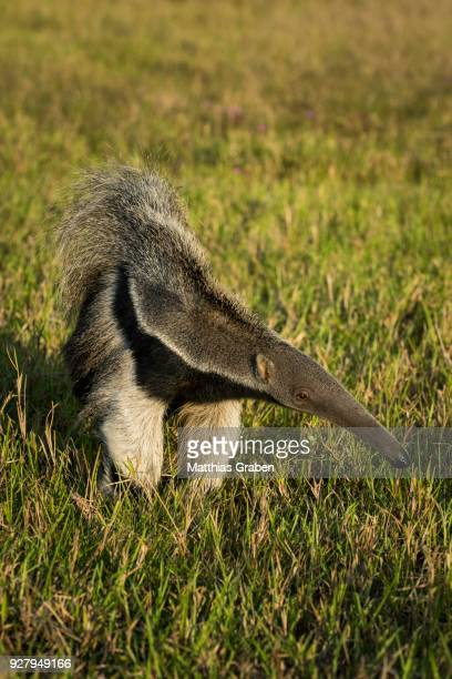 giant anteater (myrmecophaga tridactyla), pantanal, mato grosso do sul, brazil - giant anteater stock pictures, royalty-free photos & images