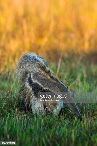 giant anteater (myrmecophaga tridactyla), pantanal, mato grosso do sul, brazil - oso hormiguero gigante fotografías e imágenes de stock