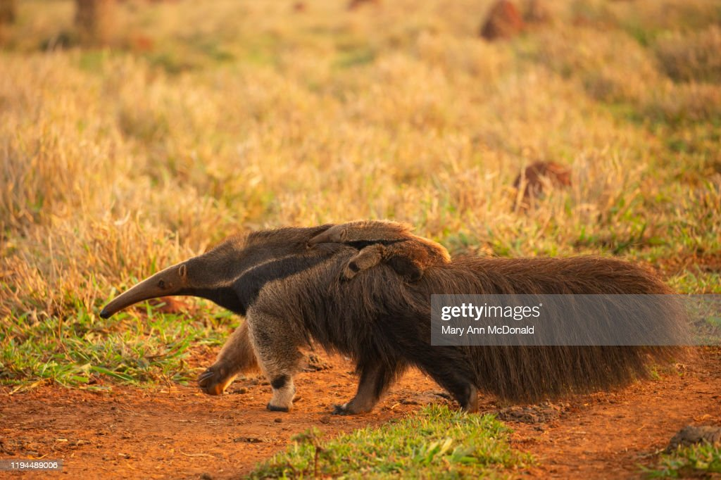 Giant Anteater : Stock Photo