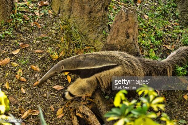 giant anteater - giant anteater stock-fotos und bilder