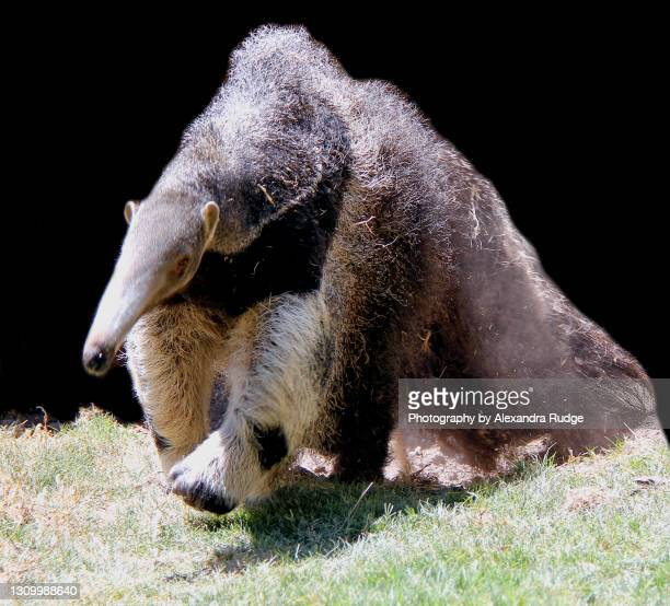 giant anteater. - giant anteater stock pictures, royalty-free photos & images