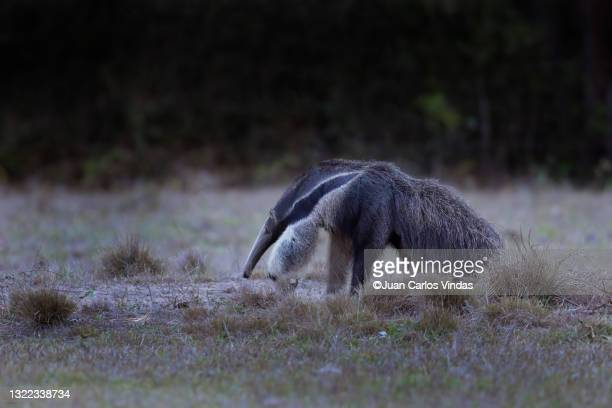 giant anteater (myrmecophaga tridactyla) - giant anteater stock pictures, royalty-free photos & images