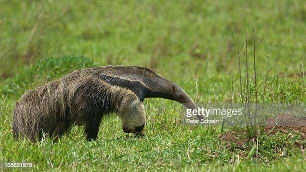giant anteater - anteater stock pictures, royalty-free photos & images