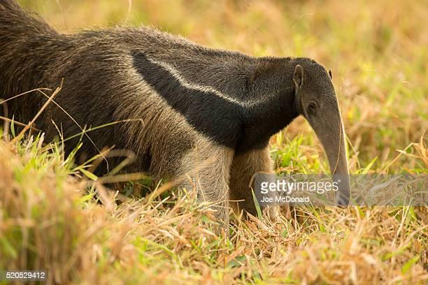giant anteater - oso hormiguero gigante fotografías e imágenes de stock