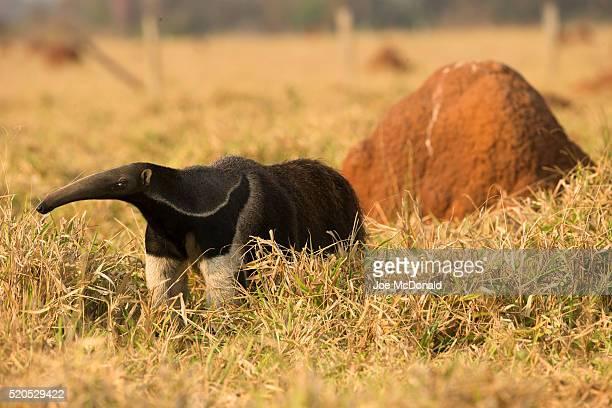 giant anteater - anteater stock-fotos und bilder