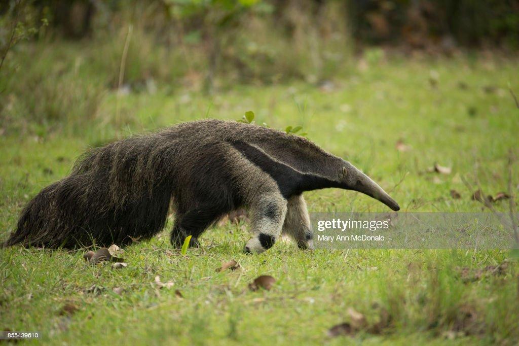 Giant Anteater : Stock Photo