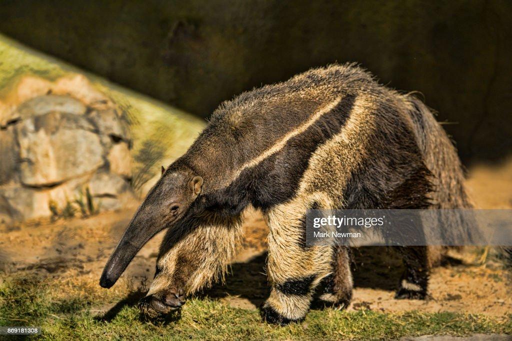 Giant Anteater : ストックフォト