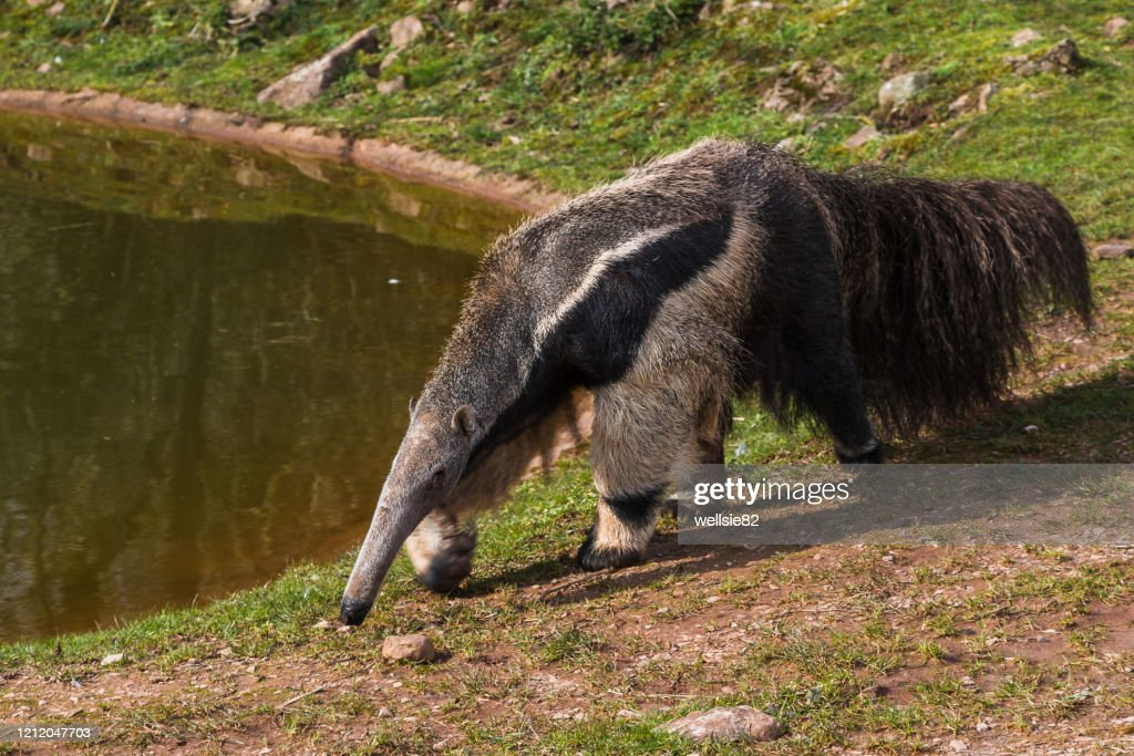 Giant Anteater prowling : Stock Photo