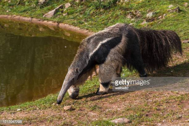 giant anteater prowling - anteater stock pictures, royalty-free photos & images