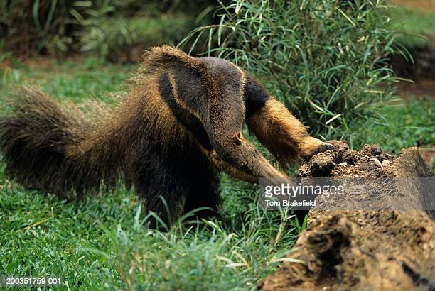 Giant anteater (Myrmecophaga tridactyla) ripping open log for insects, Central or South America