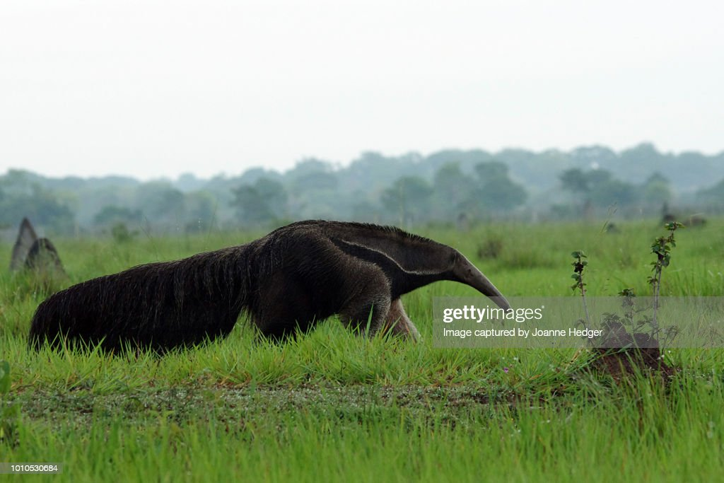 Giant Anteater roaming the Pantanal wetlands of Brazil : Stock Photo