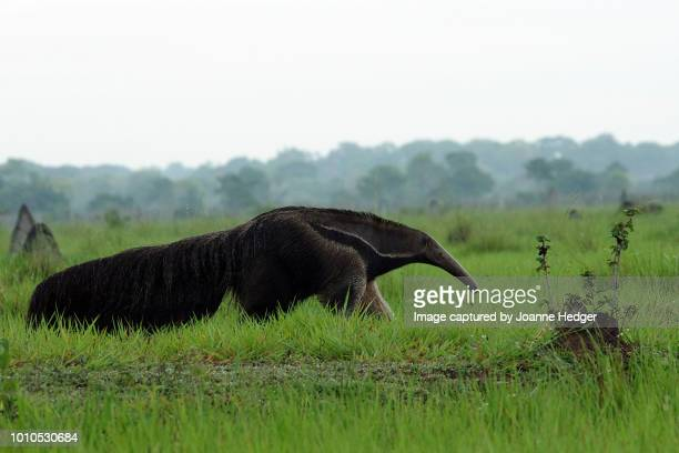 giant anteater roaming the pantanal wetlands of brazil - giant anteater fotografías e imágenes de stock