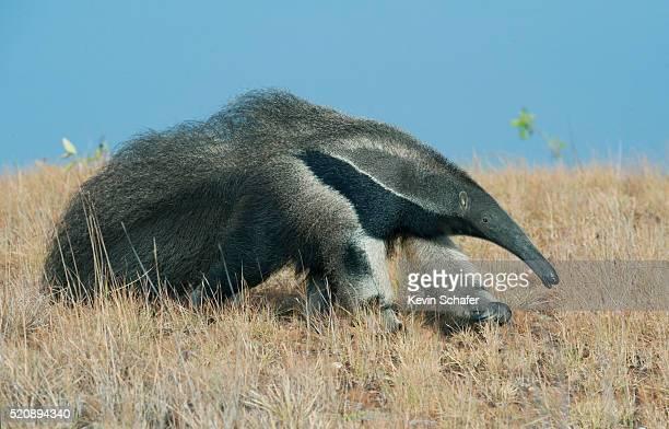 giant anteater (myrmecophaga tridactyla) rupununi savannah, karanambu ranch, guyana wild - giant anteater stock pictures, royalty-free photos & images