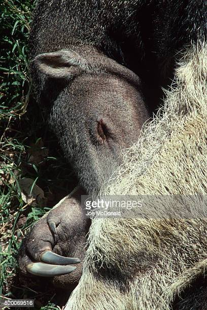 giant anteater sleeping - giant anteater stock pictures, royalty-free photos & images