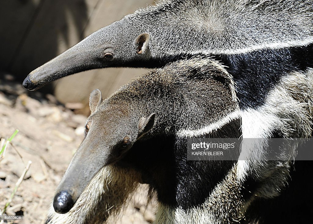 A Giant Anteater totes her young as she : News Photo