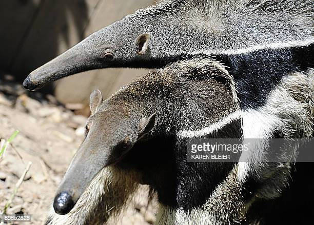 Giant Anteater totes her young as she forages for food in her habitat at the Smithsonian's National Zoo in Washington, DC on August 18, 2009. AFP...
