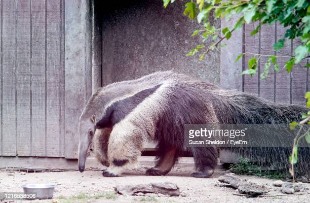giant anteater walking around his enclosure at a zoo - giant anteater stock pictures, royalty-free photos & images