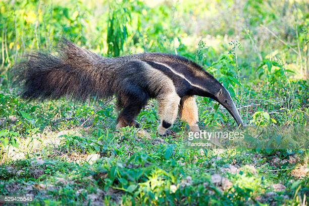 giant anteater wetland brazil - anteater stock pictures, royalty-free photos & images