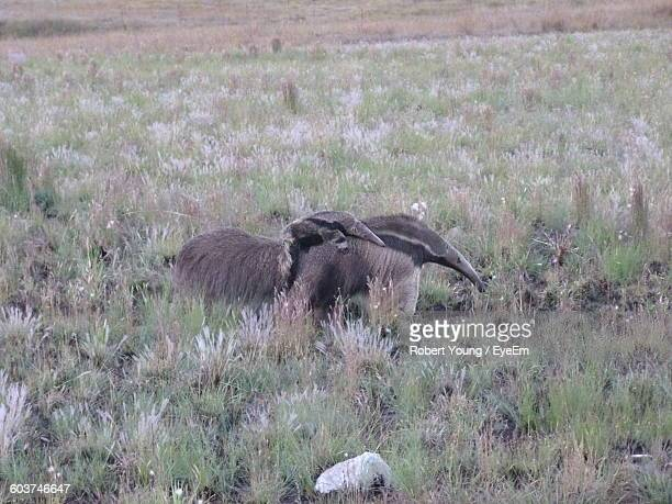 giant anteaters on field - anteater stock-fotos und bilder