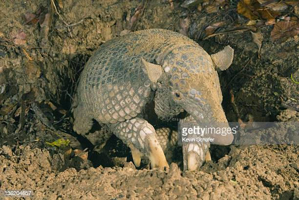 giant armadillo (priodontes maximus) brazil - armadillo stock pictures, royalty-free photos & images