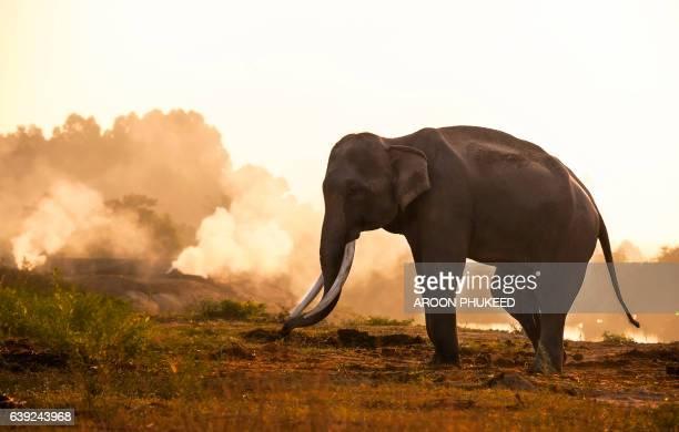 Giant asian elephant