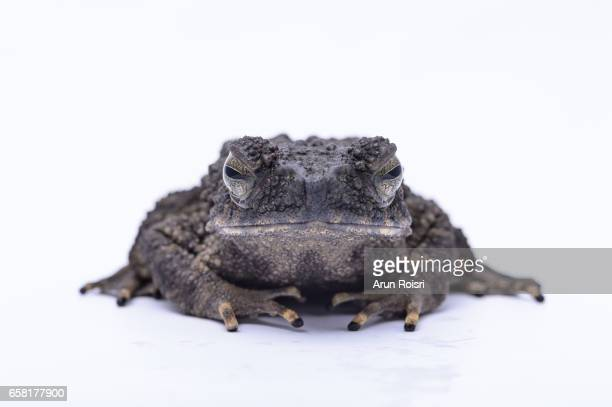 Giant Asiatic Toad, Malayan Giant Toad (Phrynoidis aspera)