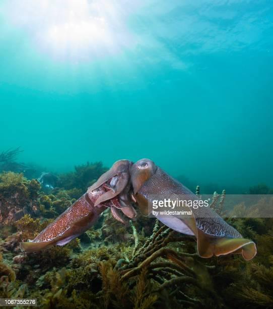 giant australian cuttlefish mating. - accouplement animal photos et images de collection
