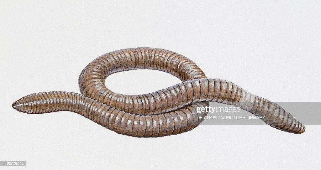 Giant Australian Earthworm Giant australian worm ...