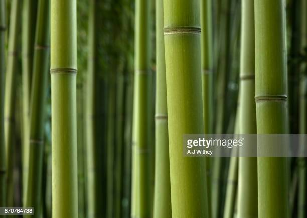 giant bamboo - bamboo stock photos and pictures