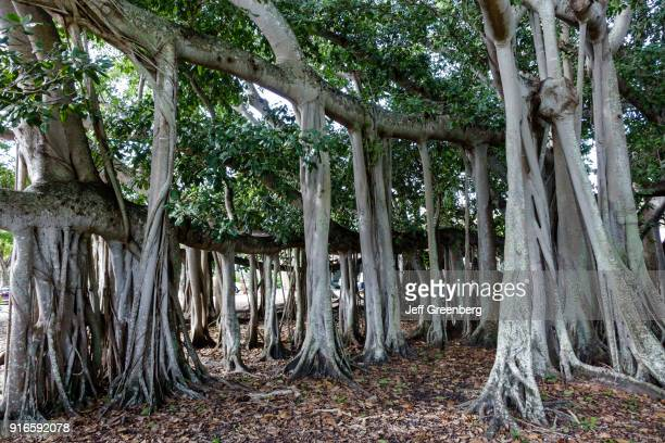 A giant banyan tree at the Thomas Edison and Henry Ford Winter Estates