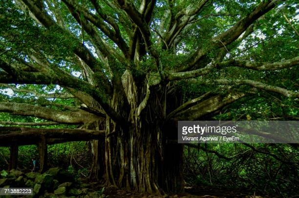 giant banyan tree growing in forest - banyan tree stock pictures, royalty-free photos & images