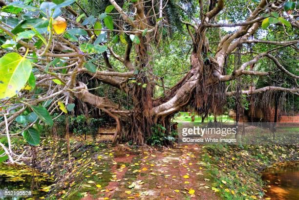 giant banyan tree - banyan tree stock photos and pictures