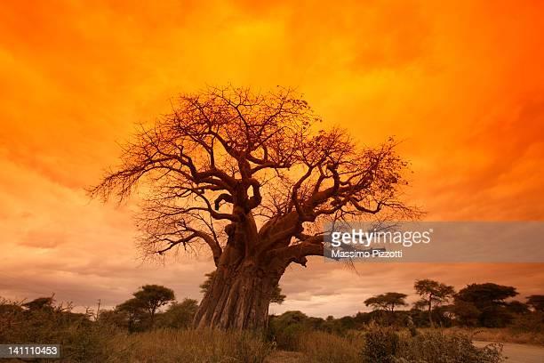 Giant baobab tree in Tanzania
